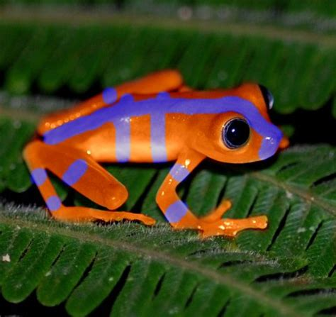 Pliko Creative Clasic Orange Green Blue bluefire frog colored creatures