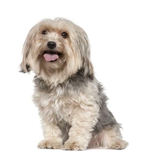 white yorkie dogs yorkies for free segerios segerios
