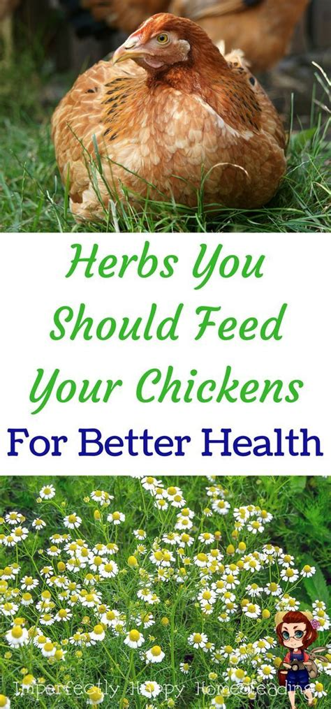 can you have chickens in your backyard 1997 best homestead chickens images on pinterest raising