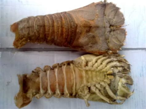 slipper tails slipper lobster tails