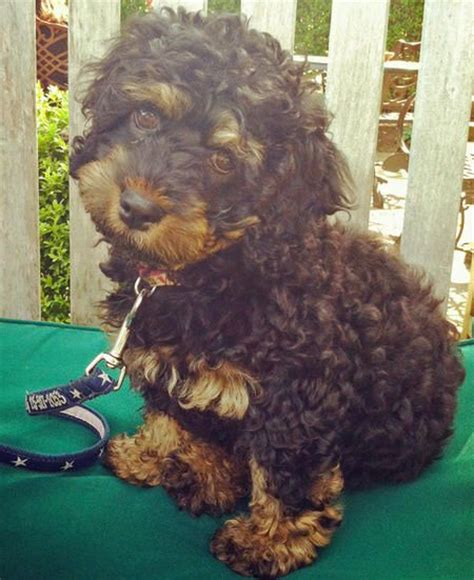rottweiler poodle mix puppies rottle rottweiler poodle mix dogs poodle mix poodles and rottweilers