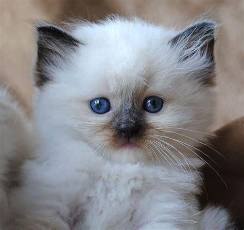 Lovely Sweet White 65 sweet ragdoll cat photos golfian