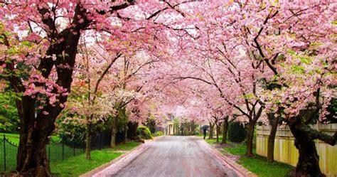jepang   tempat terbaik  melihat bunga