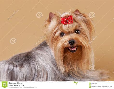 light brown teacup yorkie yorkie puppy stock photo image 26484590