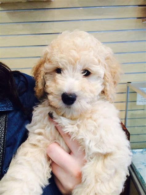 how to bathe a goldendoodle puppy 1000 ideas about mini goldendoodle on