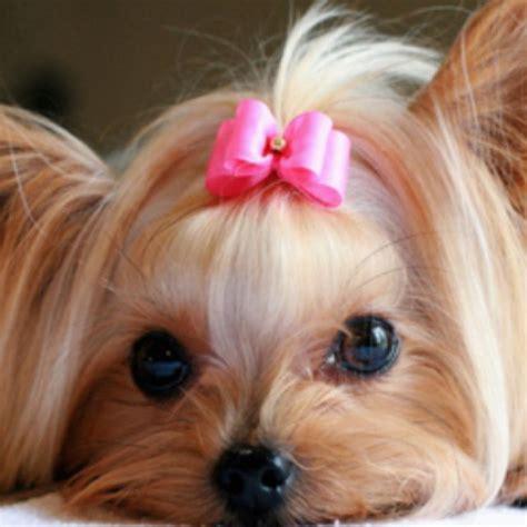 cutest yorkies yorkie animals