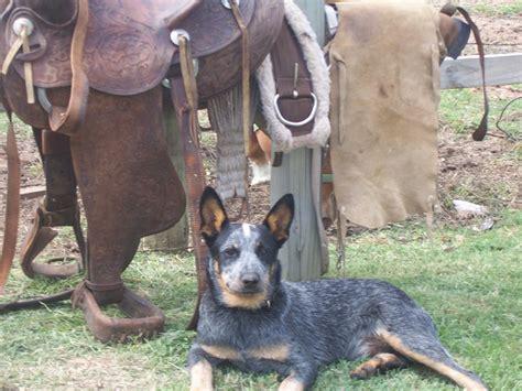 australian cattle cowboys 17 best images about cowdogs on pinterest cowboys