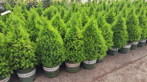 dwarf shrubs evergreen alberta spruce a cone shaped conifer displaying dense green needles which