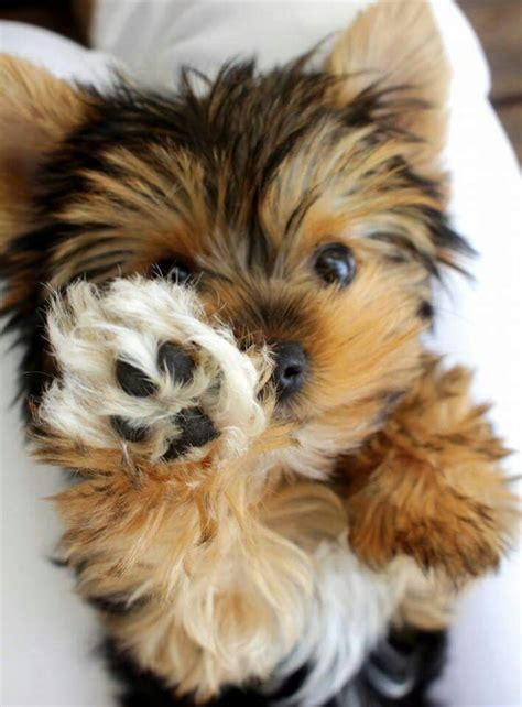 yorkie world yorkies are seriously the cutest puppies in the world they so much personality