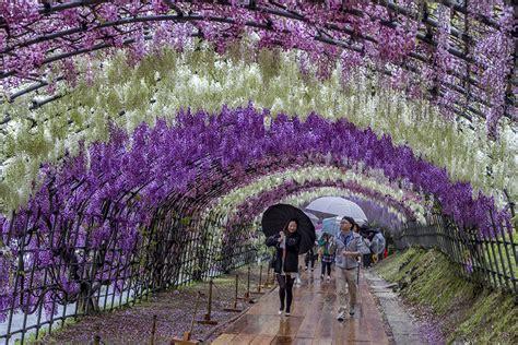 flower tunnel japan day 1 kawachi fuji garden miyajima come travel with us