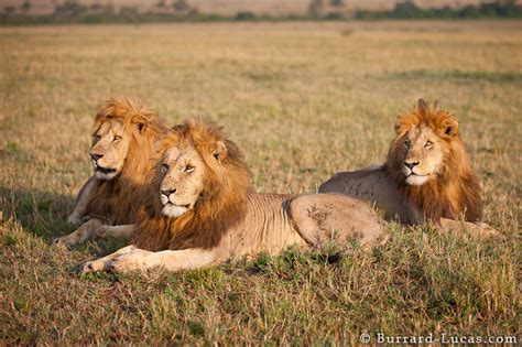 Three Lions three lions burrard lucas photography