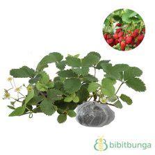 Benih Miracle Fruit Miracle Berry tanaman murbei besaran bibitbunga