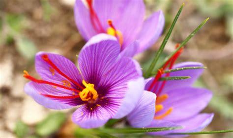 fiore zafferano zafferano fiore all occhiello di san gimignano