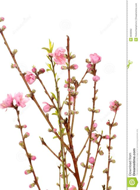 new year blossom meaning new year stock photography image 8038362
