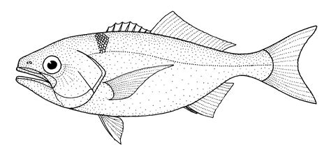 coloring pages of cod fish file hyperoglyphe antarctica antarctic butterfish gif