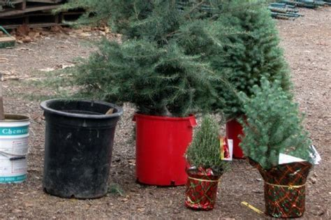 potted live christmas trees in san diego how to choose a living tree to replant after inhabitat green design innovation