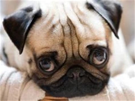 oldest living pug how to choose a child friendly rustenburg