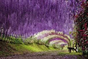 Flower Tunnel by Wisteria Flower Tunnel In Japan 20 Unbelievably