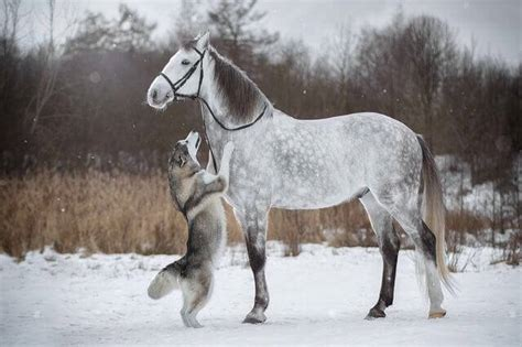 friendship   horse  husky dog caught