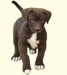 bullador puppies for sale my new puppy and bulldog lab mix a bulladore looks like my maggie may