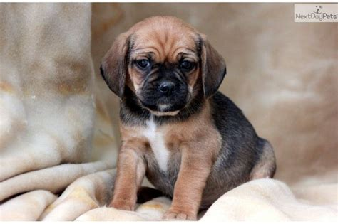puggle puppies for sale in pa 25 best ideas about puggle puppies for sale on puggles for sale pug