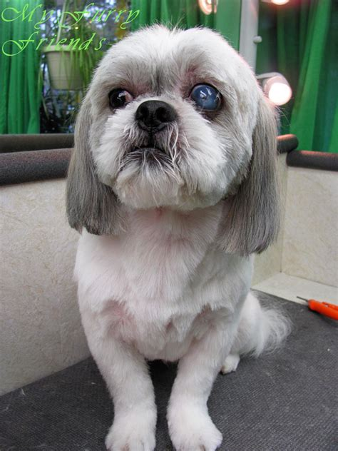 shih tzu puppy grooming black and white shih tzu puppy cut breeds picture