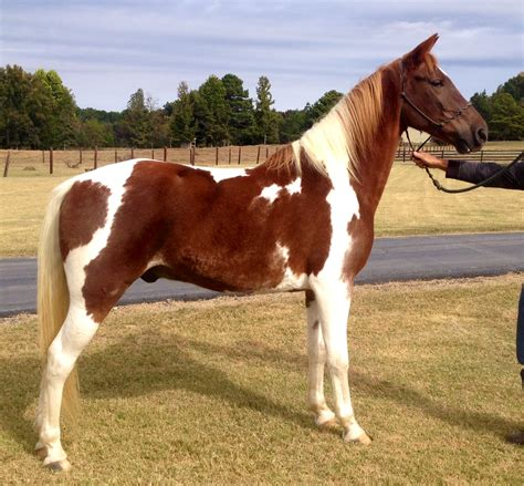 Racking Horses For Sale In by Dillon