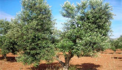 potatura olivo in vaso potatura olivo 5 regole fondamentali ecco come fare