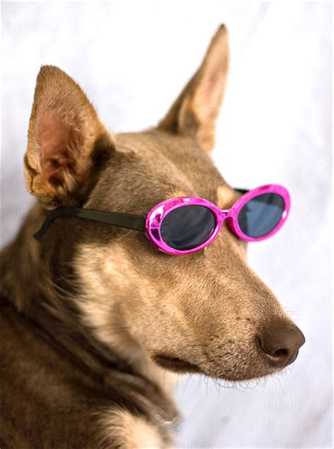 puppies wearing sunglasses cool with sunglasses www imgkid the image kid has it