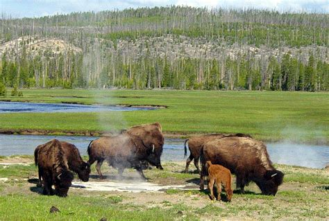 yellowstone national park animal photo why are animals fleeing yellowstone national park