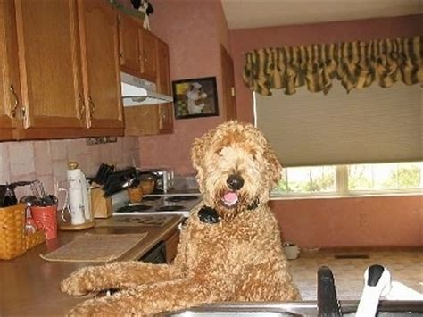 goldendoodle puppy jumping goldendoodle breed pictures 7