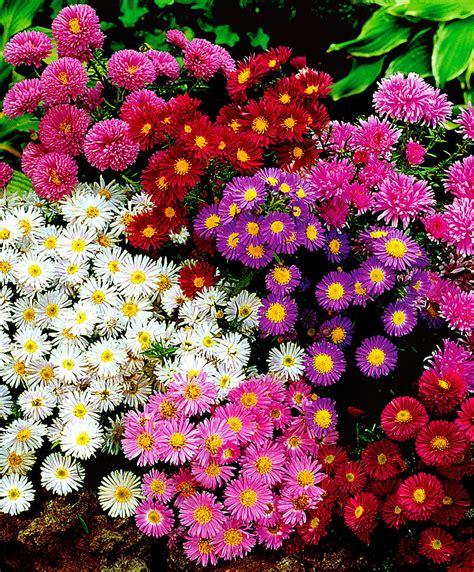 fiori per bordure basse asters nains en m 233 lange bakker