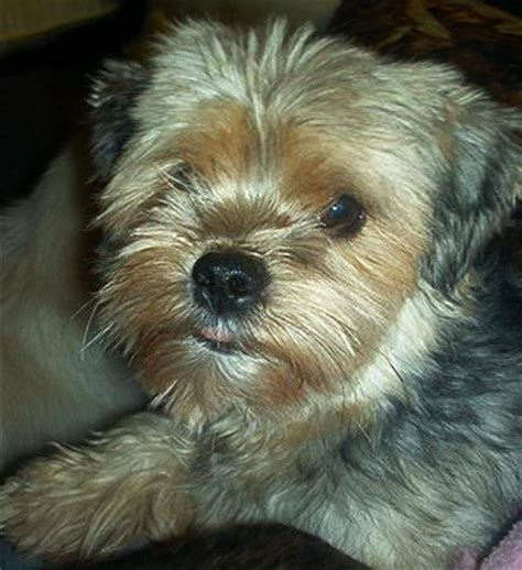 yorkie rescue ottawa many small dogs ready for adoption for sale adoption from navan ontario ottawa