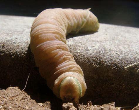 Modistha Haiwa Green prepupal poplar sphinx caterpillar what s that bug