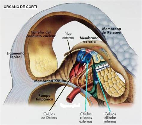 imagenes sensoriales sonoras una prote 237 na esencial para la audici 243 n estereocilina