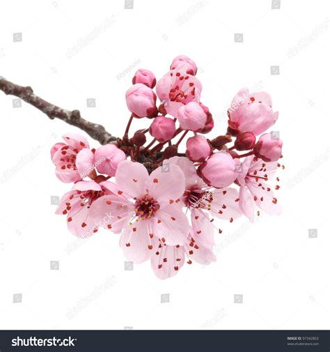 cherry blossom sakura flowers isolated on stock photo