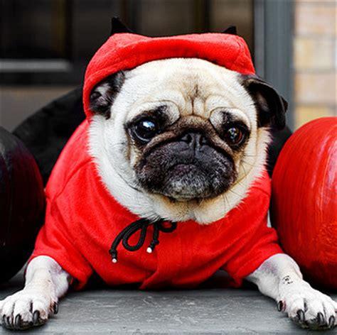 wrecking pug costume wrecking costume