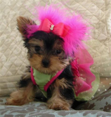 baby yorkie puppies for sale yorkie baby i animals specially yorkies