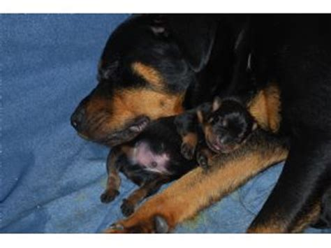miniature rottweiler for sale miniature rottweiler for sale in ohio photo