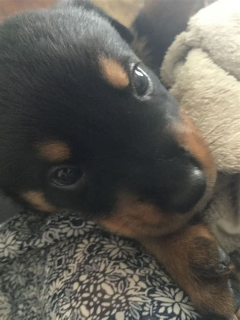 rottweiler puppies for sale manchester beautiful rottweiler puppies for sale manchester greater manchester pets4homes