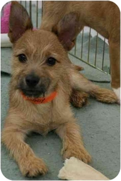 cairn terrier pomeranian mix grady adopted puppy house springs mo cairn terrier pomeranian mix