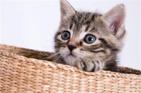 come allevare un gatto come allevare il cucciolo di gatto
