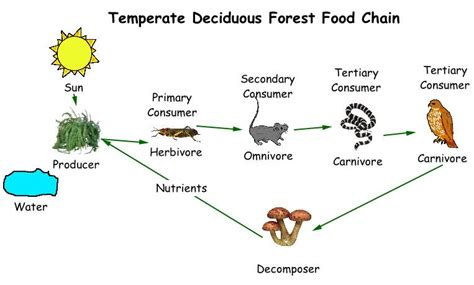 forest food chain diagram deciduous forest food chain thinglink
