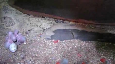 imagenes de lapas rojas nacen tres pichones de lapas rojas en cautiverio youtube