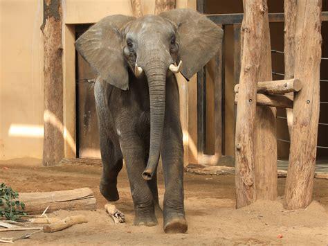 zoologischer garten ankunft ankunft jungbulle kando zoologischer garten magdeburg