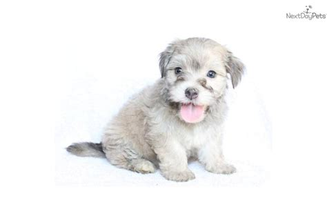grey havanese meet a havanese puppy for sale for 699 adorable grey havanese