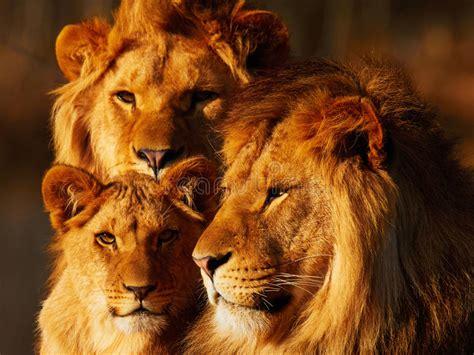 imagenes de tres leones juntos cierre de la familia del le 243 n junto foto de archivo