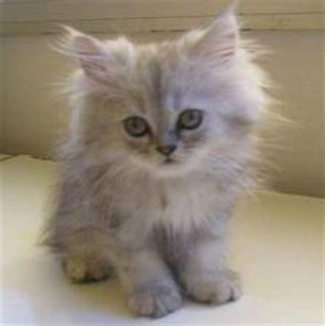 gatti persiani normotipo bambini bambini variet 224 cuccioli carini foto surreali