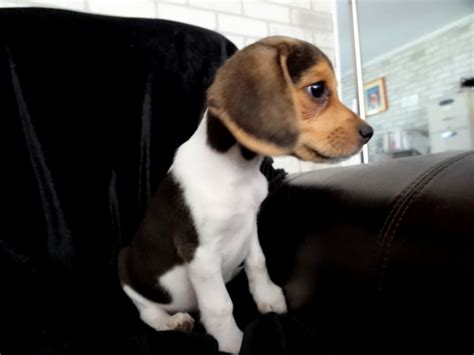 beagle puppies for sale houston beagle puppies for sale