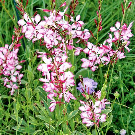 gaura lindheimeri plant freefolk rosy all perennial plants perennial plants garden dobies